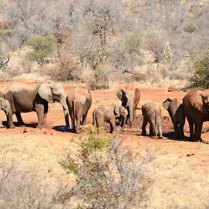 Madikwe - Elephants