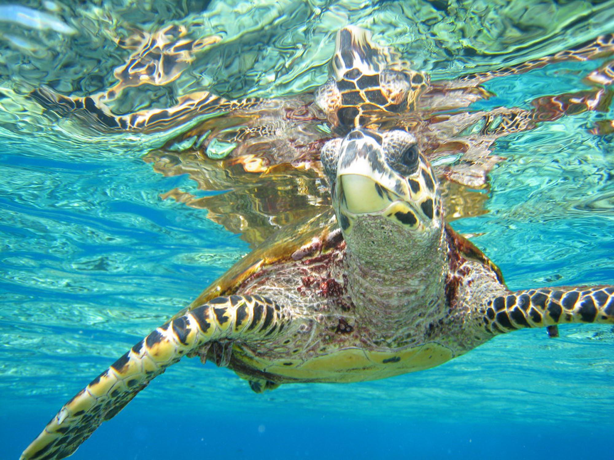 Turtle in Indian Ocean