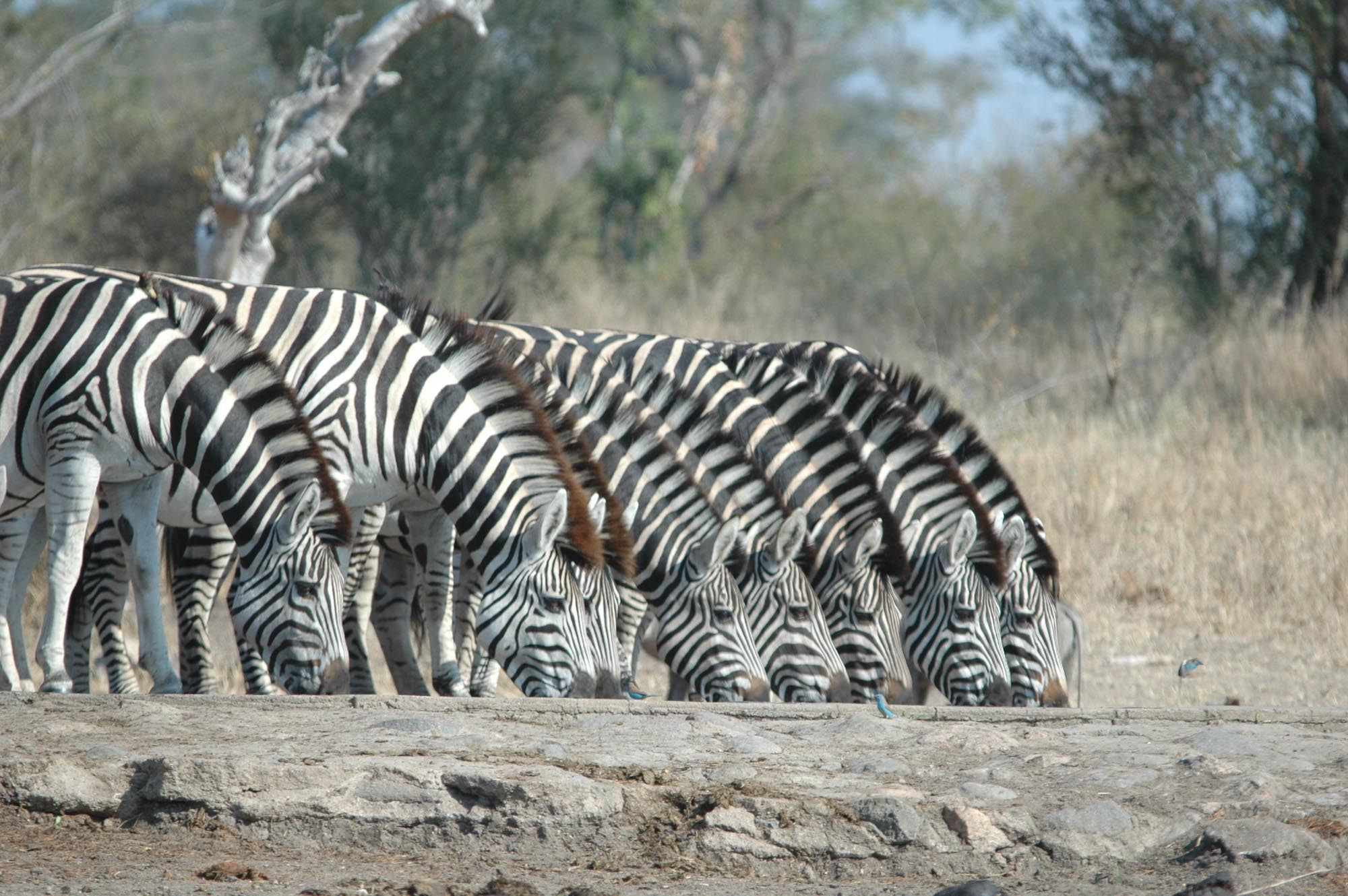 Eastern Cape - Zebra
