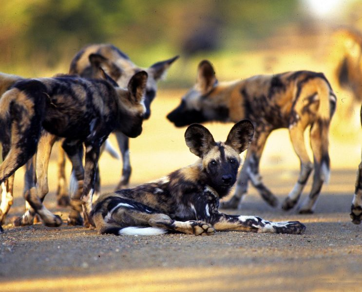 Wild dogs - Natural Events