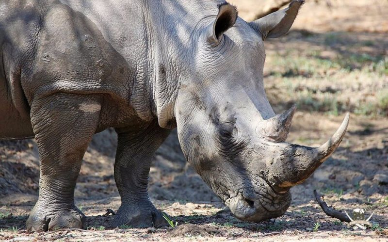 Rhino conservation at Camp Jabulani
