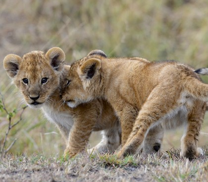 family holiday - Lion Cubs