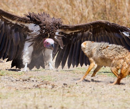 Vultures at Londolozi, South Africa | Timeless Africa Safaris