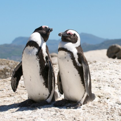 penguins- boulders beach